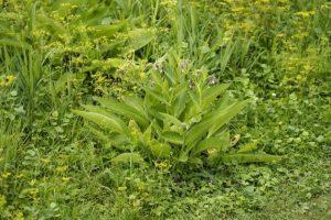 consoude : engrais bio et plante médicinale